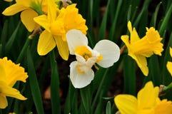 Gele en witte Gele narcissen in de Lente Royalty-vrije Stock Foto