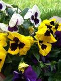 Gele en witte pansies royalty-vrije stock foto