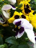 Gele en witte Pansies 2 royalty-vrije stock foto's