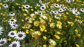 Gele en witte wildflowers Royalty-vrije Stock Fotografie