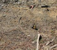 Gele en zwarte gelande vlinder stock afbeelding