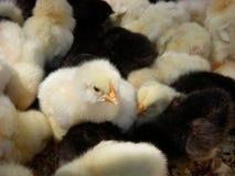 Gele en zwarte kippen Stock Afbeelding
