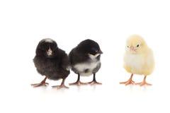 Gele en zwarte kippen op een witte achtergrond Royalty-vrije Stock Foto's