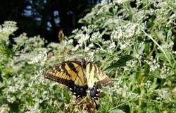 Gele en Zwarte Vlinder - Oostelijk Tiger Swallowtail Papilio stock afbeelding