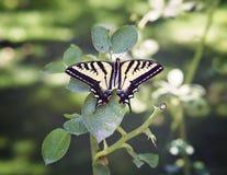 Gele en Zwarte Vlinder op een Blad Stock Afbeeldingen