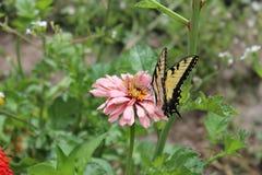 Gele en zwarte vlinder op roze bloem stock afbeelding