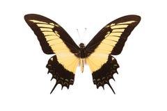Gele en zwarte vlinder Papilio Androgeus Stock Foto's