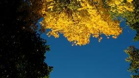 Gele esdoorn in de herfst op een blauwe hemel, cameraomwenteling, de langzame ruimte van het motieexemplaar stock videobeelden