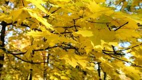 Gele esdoorn die op een tak in de parkbladeren slingeren in het windclose-up stock videobeelden