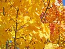 Gele esdoornbladeren royalty-vrije stock foto