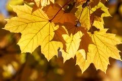 Gele esdoornbladeren Stock Afbeeldingen