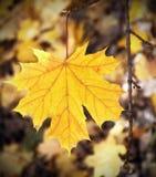 Gele esdoornbladeren royalty-vrije stock foto's
