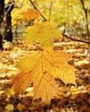 Gele esdoornbladeren stock foto