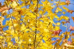 Gele esdoornbladeren royalty-vrije stock afbeelding