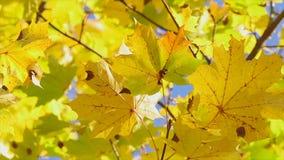 Gele esdoornbladeren, de herfst stock video