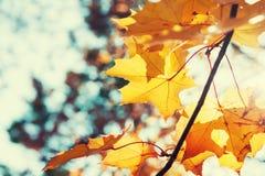 Gele esdoornbladeren in de herfstbos bij zonnige dag Stock Foto's