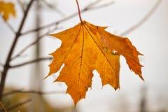 Gele esdoornbladeren in de regenachtige ochtend Dauwdalingen op de bladeren De achtergrond van de herfst Rode en oranje het bladc royalty-vrije stock foto