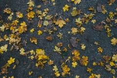 Gele esdoornbladeren die op de grond liggen Stock Foto