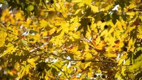 Gele esdoornbladeren die zich op wind bewegen stock video