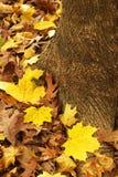 Gele esdoornbladeren en wortel Stock Fotografie