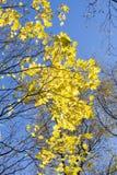 Gele esdoornbladeren op blauwe hemel stock afbeeldingen