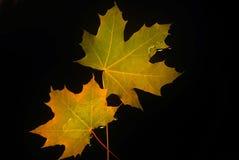 Gele esdoornbladeren op een zwarte achtergrond Stock Foto's