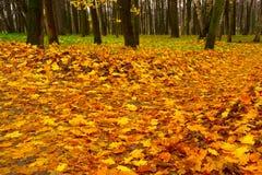 Gele esdoornbladeren op weg door de herfstbos Stock Foto's