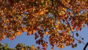 Gele esdoornbladeren tegen de blauwe hemel 4K stock footage