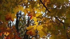 Gele esdoornbladeren tegen de blauwe hemel 4K stock video
