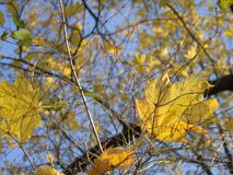Gele esdoornbladeren tegen de hemel royalty-vrije stock afbeelding