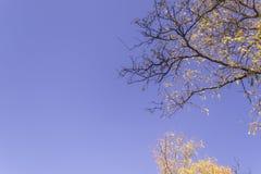 Gele esdoornbladeren tijdens dalingsseizoen tegen zonnige blauwe hemel stock fotografie