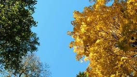 Gele esdoornbomen in de herfst op een blauwe hemel, cameraomwenteling, exemplaarruimte stock videobeelden