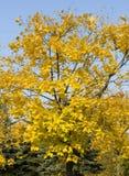 Gele esdoornboom royalty-vrije stock fotografie