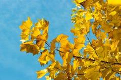 Gele esdoorntak met gebladerte tegen de blauwe hemel, mooie de herfstachtergrond royalty-vrije stock afbeeldingen