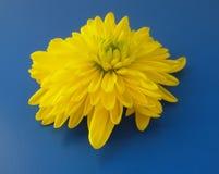 Gele florist' s madeliefje over blauwe achtergrond Mooie bloesem royalty-vrije stock foto