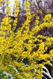 Gele forsythiabloei in het de lentepark royalty-vrije stock afbeeldingen
