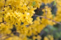 Gele forsythiabloemen die in de lenteclose-up bloeien royalty-vrije stock afbeeldingen