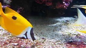 Gele foxface rabbitfish stock videobeelden