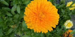 Gele Franse merigoldbloem stock foto's