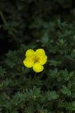 Gele fruticosa van bloemdasiphora De bloemen van Potentillafruticosa Stock Foto's