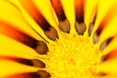 Gele Gazania bloem dichte omhooggaand Royalty-vrije Stock Foto's