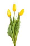 Gele geïsoleerde tulpen Royalty-vrije Stock Afbeelding