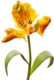 Gele geïsoleerder tulp Stock Afbeeldingen