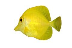 Gele geïsoleerder vissen (Zweempje) stock foto's
