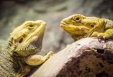 Gele gebaarde draken stock fotografie