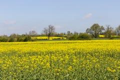 Gele gebieden en sommige bomen royalty-vrije stock fotografie
