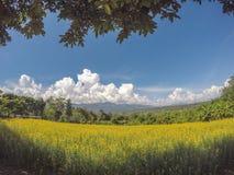 Gele gebieden van de hennep van Crotalaria junceasunn en mooie hemel in Pai, Mae Hong Son, Noordelijk Thailand royalty-vrije stock foto