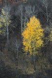 Gele gebladerteboom Stock Foto