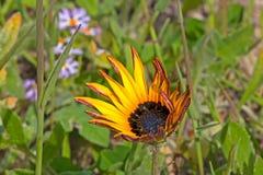Gele gedeeltelijk geopende madeliefje wildflower knop royalty-vrije stock afbeelding