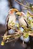Gele Gefactureerde Hornbills Stock Fotografie